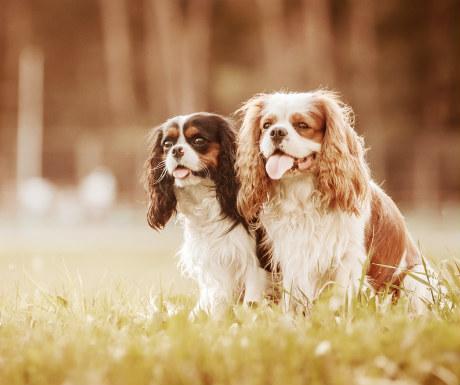 Dog romance