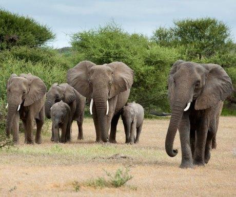 Elephant Herd - Mashatu Camp Tuli Area - Botswana