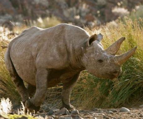 Freeroaming Black Rhino At Desert Rhino Camp Namibia