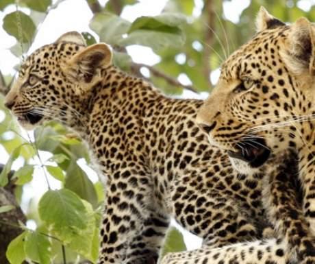 Leopard Mombo Camp Wilderness Safaris
