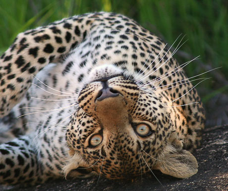 Leopard - Elephant Plains Game Reserve - South Africa