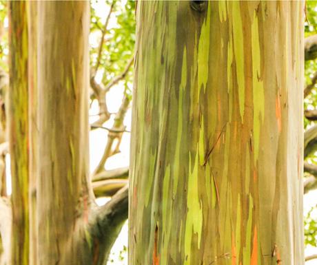 Rainbow Eucalyptus Grove