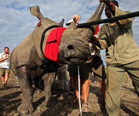 Rhino Relocation Botswana - Great Plains - AndBeyond