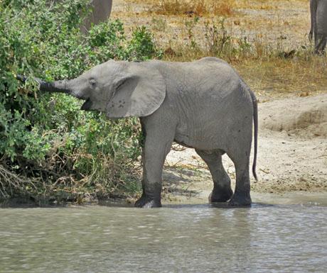 Baby elephant in Tarangire