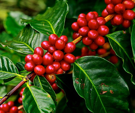 Coffee beans - on tree - pd