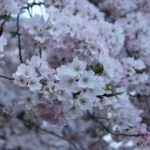 Cherry blossom season in Washington D.C.