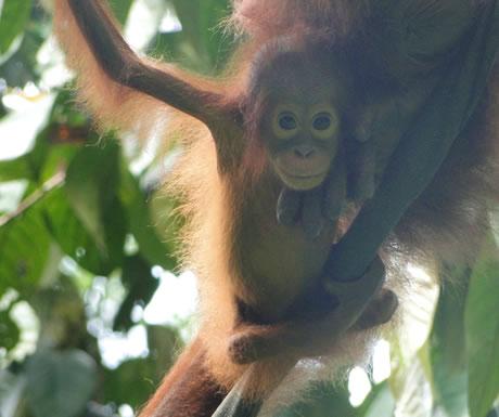 Infant orangutan at Sepilok, Malaysian Borneo