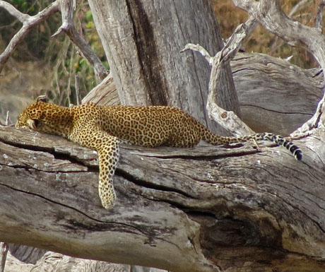Lounging leopard Tarangire