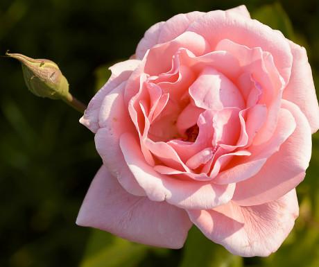 Rose_308618951
