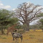 5 great reasons to include Tarangire National Park on a Tanzania safari