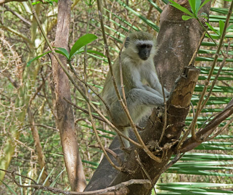 Vervet monkey Tarangire