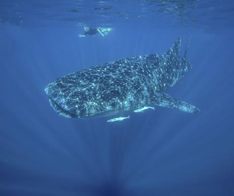 Whale shark off Ningaloo Reef