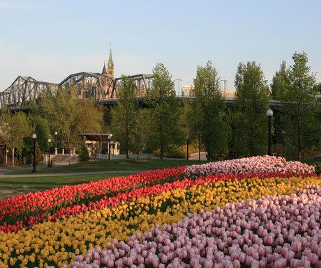 rsz_tulips