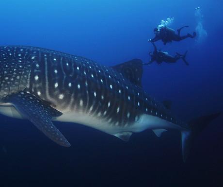 Galapagos whaleshark diving