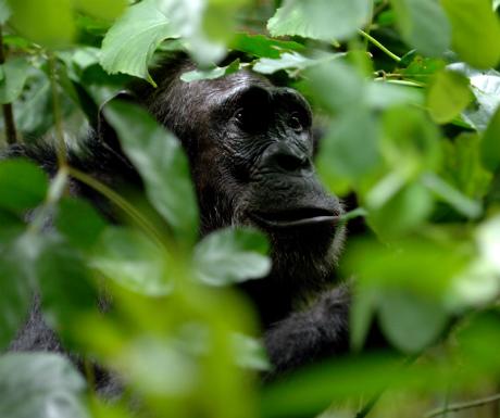 Greystoke Mahale chimp 8 - Nomad Tanzania