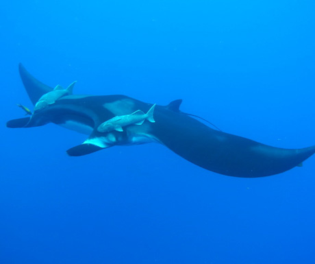 divingwithgiantmantarays