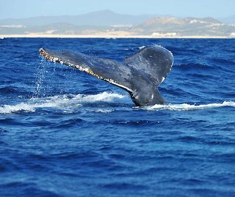 whalewatchinginloscabos