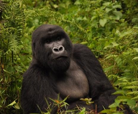 Gorilla from Virunga Lodge in Rwanda