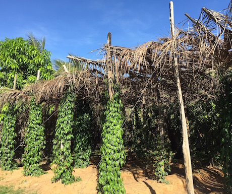 Kampot - pepper vines