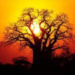 The baobab, iconic African tree - Monate Game Lodge