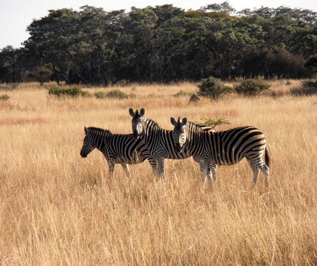 Zebra creating patterns in the grass st Monate Game Lodge