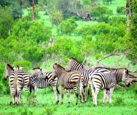Zebras at Sabi Sabi
