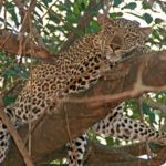 5 reasons to safari in South Luangwa National Park