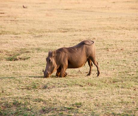 Warthog South Luangwa