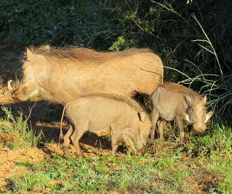 Warthog family, Addo Elephant National Park, South Africa