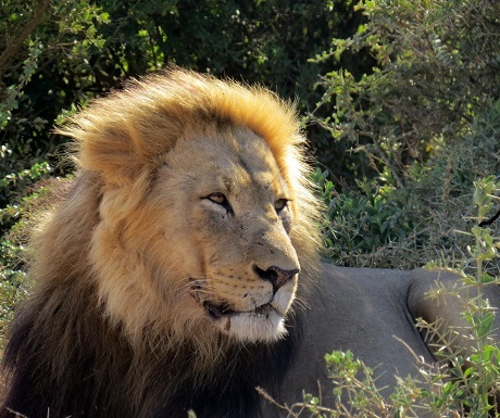 Male lion next to the road, Addo National Elephant Park, South Africa