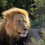 Male lion in Addo National Park, South Africa
