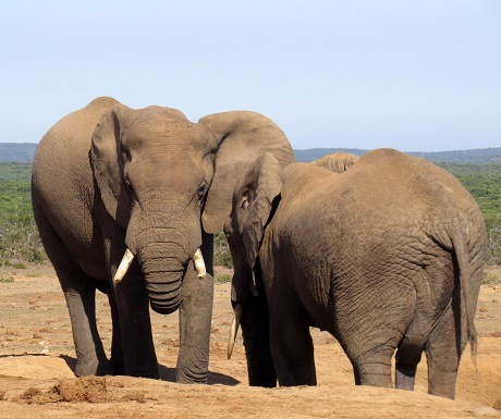 Elephant drinking at Hapoor Dam in Addo Elephant National Park, South Africa