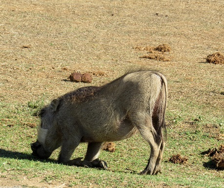 Warthog on his knees, Addo Elephant National Park, South Africa