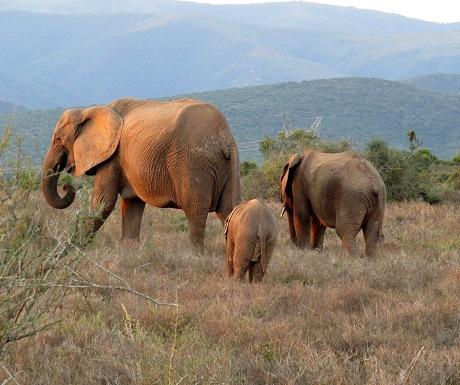 Elephant famliy in the Addo Elephant Park, South Africa