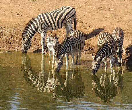 Zebra reflections Addo Elephant National Park, South Africa