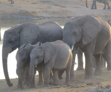 Elephant family in Addo Elephant National Park, South Africa