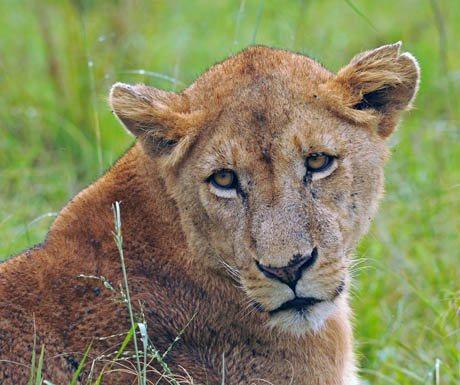 Lionness Kidepo