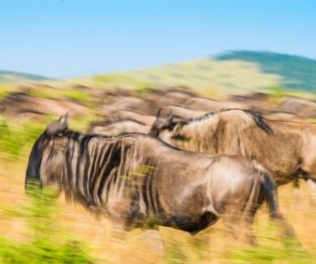 Salas Camp Wildebeest Masai Mara Kenya