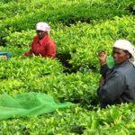 Tea pickers near Munnar, india