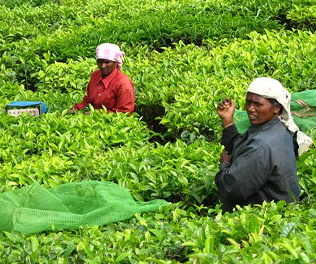 Tea pickers near Munnar, india