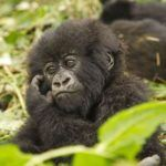 5 tips for a memorable gorilla trekking experience