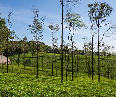 tea-plantation-in-the-highlands