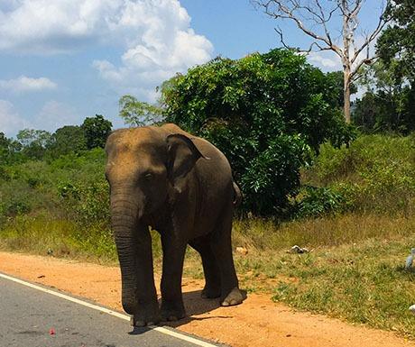 Elephant encounter in Yala