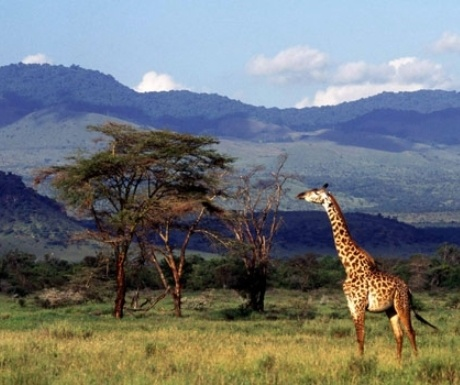 Giraffe-in-Chylu-Hills-from-Campi-ya-Kanzi