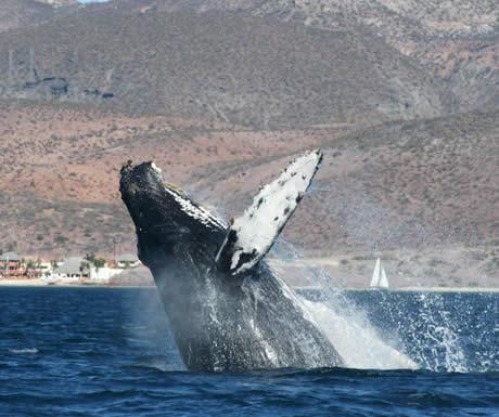 Humpback whale breaching in Baja California, Mexico