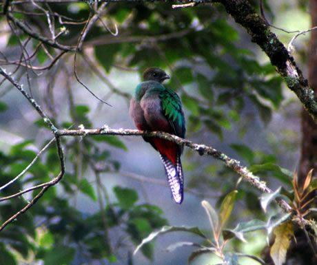 Quetzal bird in Costa Rica
