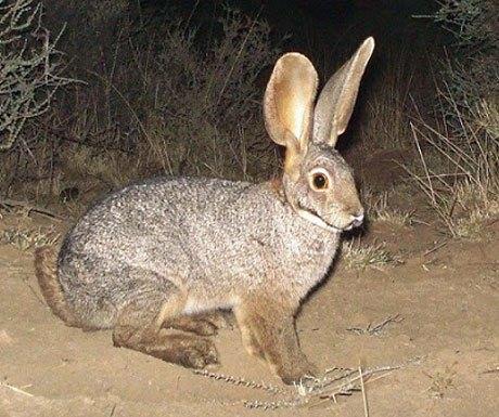 Riverine-Rabbit-eric-hermann