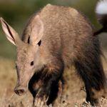 Samara-Reserve-South-Africa-Aardvark