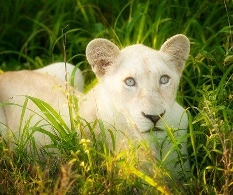 Tanda_Tula_SouthAfrica-white-lion