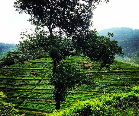 Tea plantations from the train